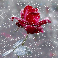Snow Rose – Live Wallpaper